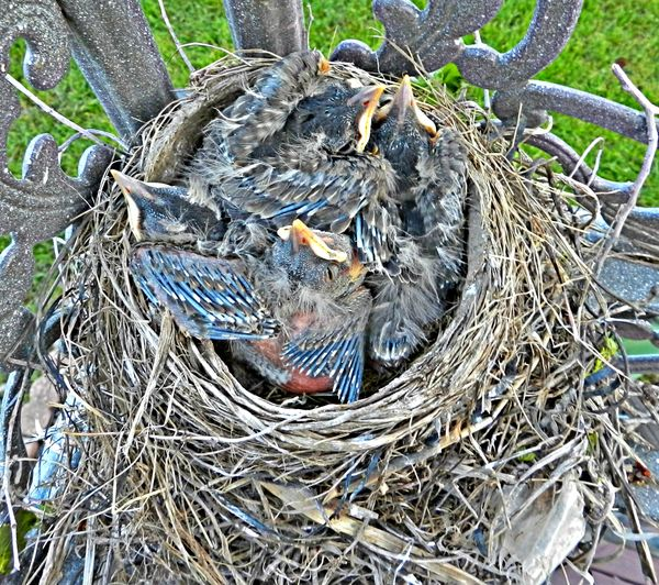 4 Young Robins Abundance Avian Baby Baby Birds Baby Robins Beak Beauty In Nature Bird Nest Birth Close-up Day Elevated View Feathers Growing Growth Hatched Egg Hatchling Nature Nest No People Outdoors Quad Robin Robin Bird Young