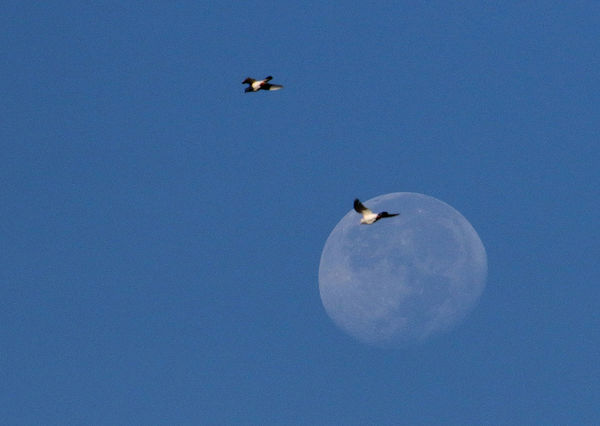 Two pigeons fly past the moon, two days after the supermoon phenomenon in the Philippines. The recent supermoon was the moon's closest distance to Earth since January 26, 1948. The spectacular full moon was 356,509 kilometers to earth and appeared 14 percent bigger and 30 percent brighter than usual. Beauty In Nature Bird Blue Clear Sky Copy Space Day Flying Flying High Moon Moon Shots Nature No People Outdoors Philippines Sky Skyline Pigeon Snow Supermoon Fly Me To The Moon Look Up Birds