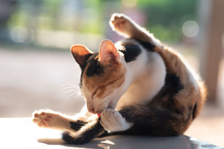 Thai Cat Animal Animal Body Part Animal Themes Cat Cat Grooming Close-up Day Domestic Domestic Animals Domestic Cat Feline Focus On Foreground Funny Cat Licking Mammal Mouth Open No People One Animal Paw Pets Relaxation Tricolor Cat Vertebrate Whisker