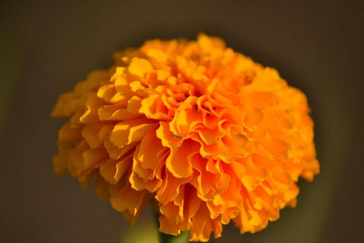 Close-up of marigold flower