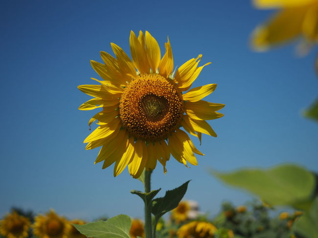 Flowering Plant Sunflower Flower Head Focus On Foreground Yellow