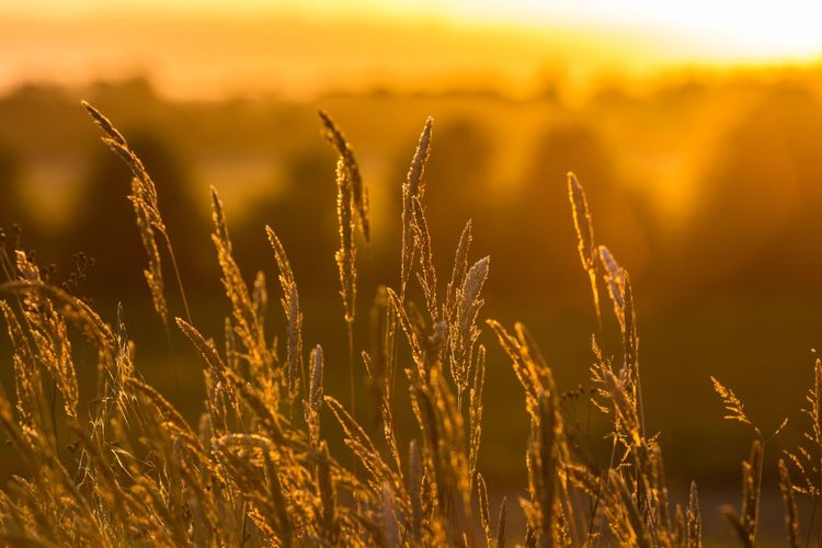 EyeEm Selects Sunset Silhouettes Sunset Sunset_collection Growth Nature Field No People Outdoors Beauty In Nature Plant Agriculture Tranquility Focus On Foreground Day Cereal Plant Close-up Freshness Sky