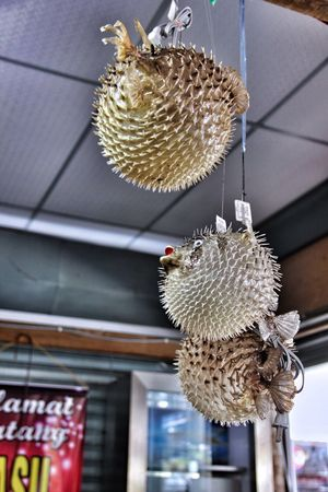Hanging Decoration Ceiling Low Angle View Indoors  No People Built Structure Animal Themes Day Close-up Pufferfish EyeEmNewHere The Week On EyeEm Pangkor