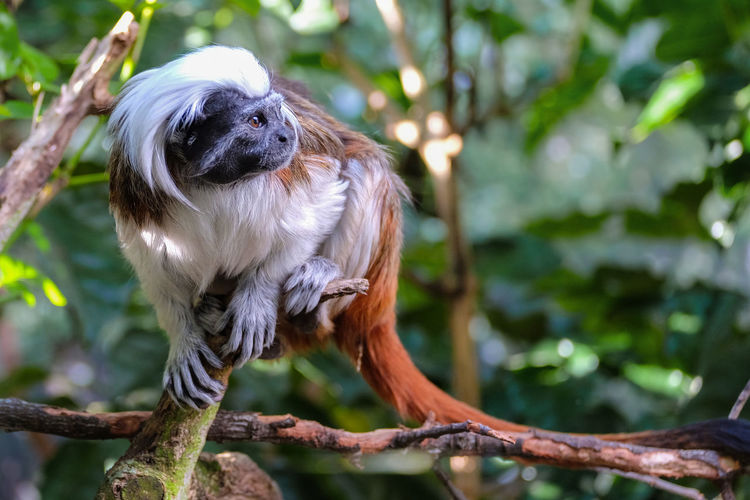 Tamarin in tree Monkey Primate Tamarin Tree Wellington Zoo Wildlife Wildlife & Nature Wildlife Photography