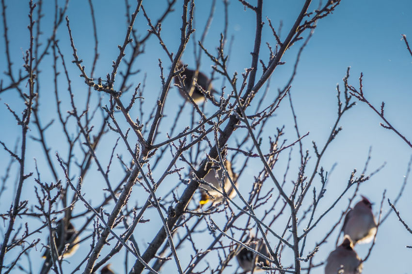 Wintertime Animal Animal Themes Animal Wildlife Animals In The Wild Bare Tree Bird Branch Day Focus On Foreground Group Of Animals Low Angle View Nature No People Outdoors Perching Plant Sky Tree Vertebrate Waxwing Waxwings