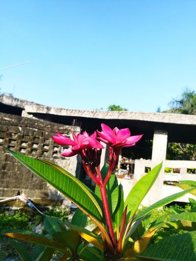 Flower Head Pink Color Clear Sky Leaf Sky Close-up Plant Architecture Green Color First Eyeem Photo