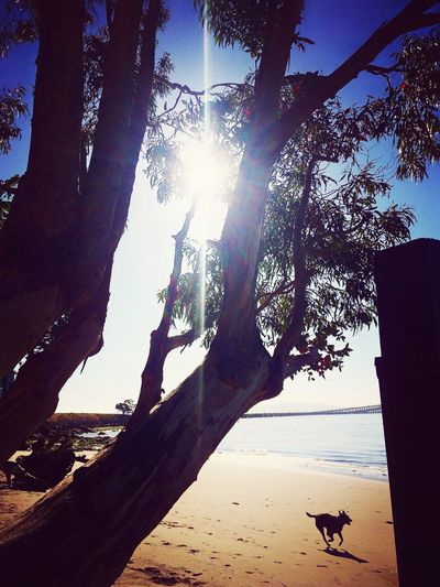 EyeEm Best Shots EyeEm Nature Lover Sunlight Sunbeam Tree Lens Flare Silhouette Nature Day Sun Tree Trunk Outdoors Sky No People Animal Themes Beauty In Nature Beach Dog Silhouette Sommergefühle