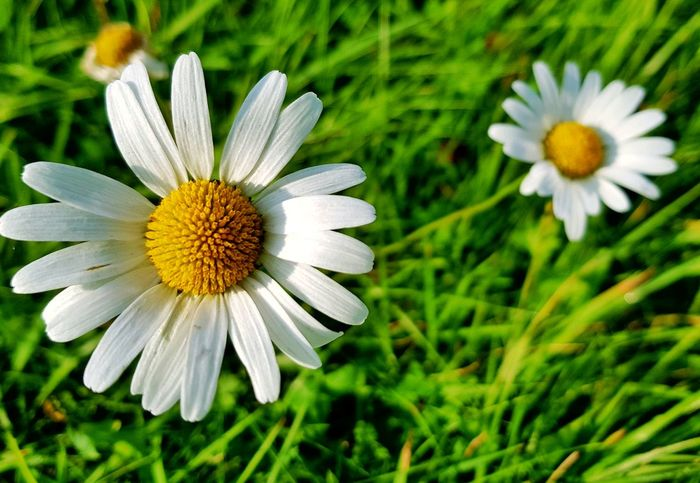 Flower Collection Daisy 🌼 Onelove♥ Outdoors Lifestyles Close-up Growth Outdoor Photography Eifel Germany Naturephotography Outdoor Life Beauty In Nature Freshness Nature On Your Doorstep