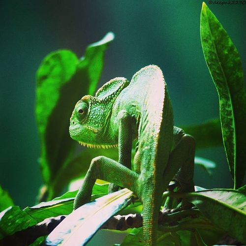 Chameleons Chemeleonsofinstagram Chemeleonpearl Telengana Hyderabad Nature Beautiful Beauty