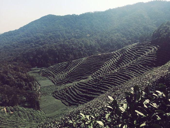 Cellphone Photography Mountain View Spring Longjing Tee Garden Hangzhou,China