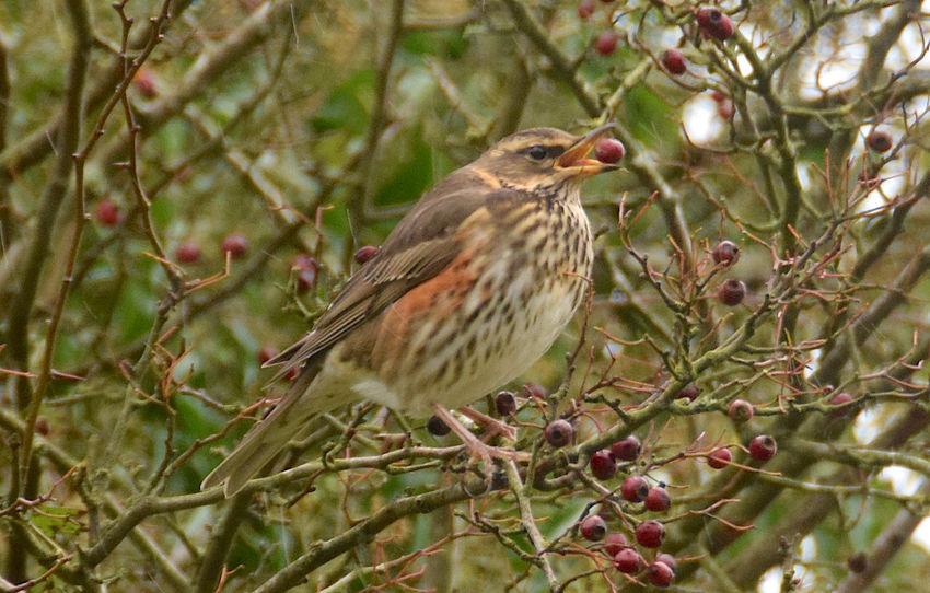 Berrys Bird Close-up Nature No People Perching Redwing Redwing Eating