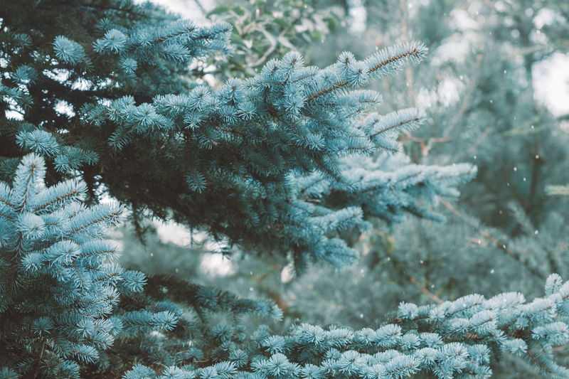 Close-Up Of Pine Trees Growing In Farm During Snowfall
