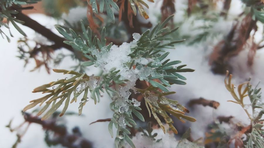 Winter Cold Temperature Nature Snow Growth Close-up Branch Tree Beauty In Nature Ice Outdoors No People Needle - Plant Part Frozen Day Nature Extreme Weather Abinsthe
