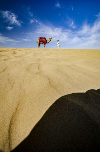Camel in Thar Desert, Rajasthan Desert India Rajasthani Camel In Desert Camels Jaisalmer Jaisalmerdesert Landscape Rajasthan Rajasthan Beauty Sky Thar Desert