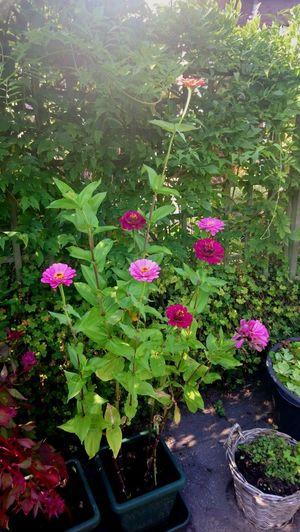 Flower Pink Color Plant Botanical Garden Blooming Flowering Plant Botany Plant Life