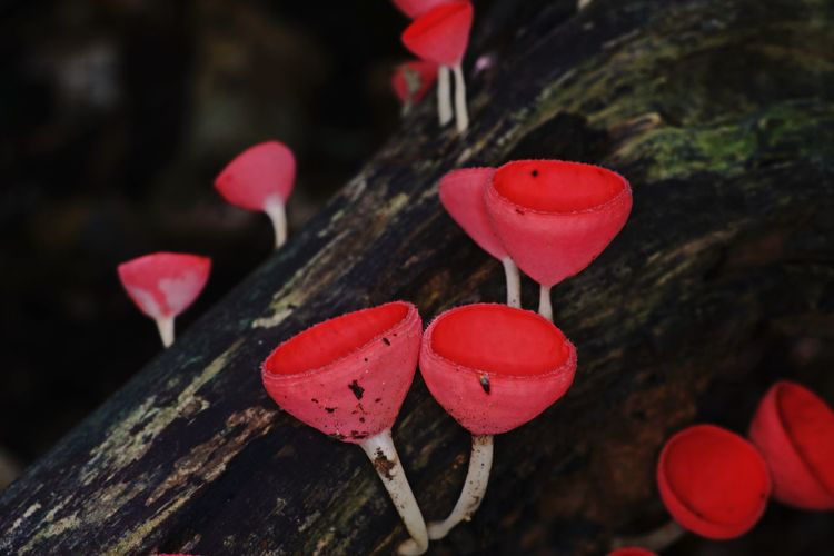 High Angle View Of Red Mushrooms Growing On Tree Trunk