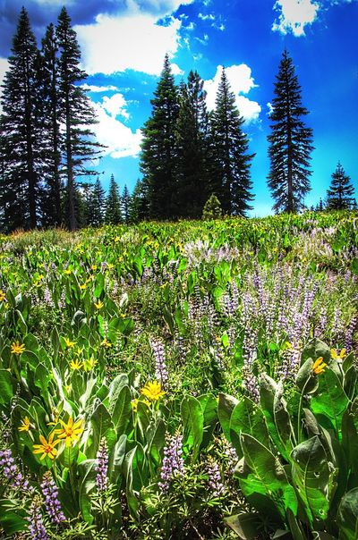 High country Wildflowers near Bennet Juniper Sonora Pass ca Plant Tree Growth Nature Day No People Land Sky Beauty In Nature Tranquility Field Green Color Sunlight Outdoors Grass Freshness Tranquil Scene Landscape Environment Flower