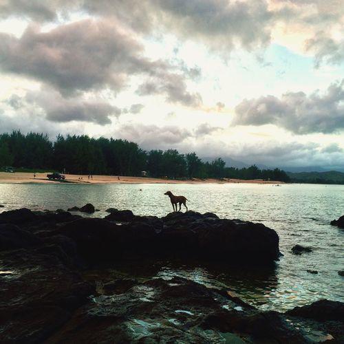 Lanikai  Lanikai Beach Hawaii Vizsla Vizslalife Roxyvizsla