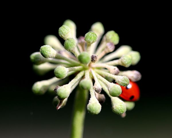Ladybug Ladybird Freshness Plant Close-up Flower Flowering Plant Beauty In Nature Growth Focus On Foreground Green Color Nature Outdoors Selective Focus Fragility Bud