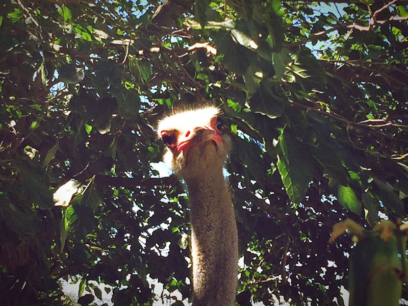 IPhone IPhoneography Birds Ostrich Ostriches Ostriche Tunisia