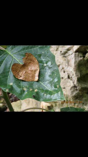 heart leaf 9.30.2015 Leaf Love Heart Heart Leaf Green Beauty In Nature Amazing Beautiful Nature Freshness