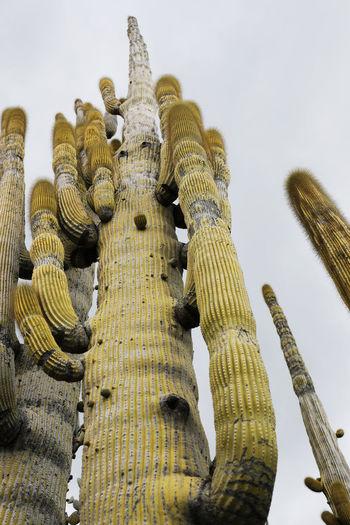 Exceptionally high old giant cactus, botanical garden