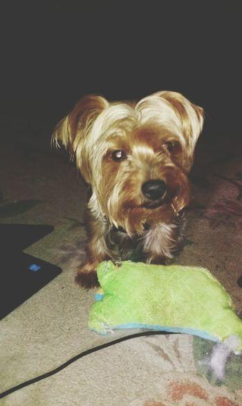 Play time mom! YorkieBestShots Teamyorkie Spoiledpup I LOVE HIM♥ Dogs Of EyeEm