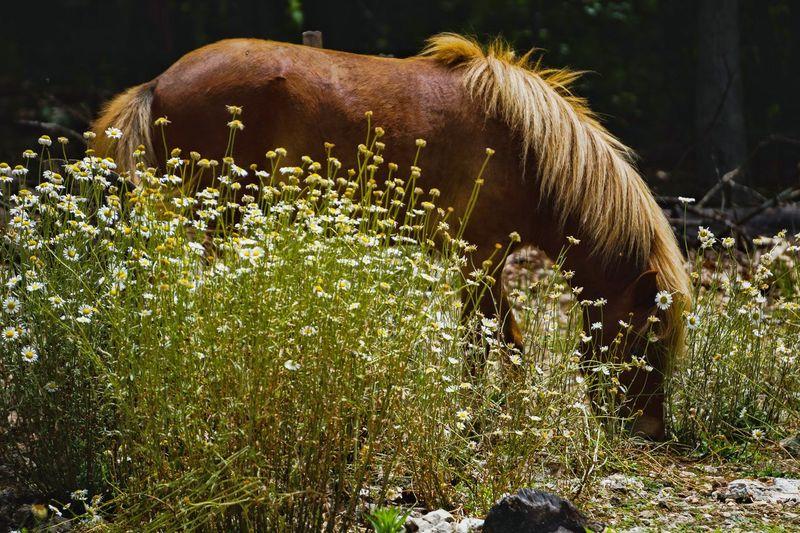 Miniature horse grazing on field