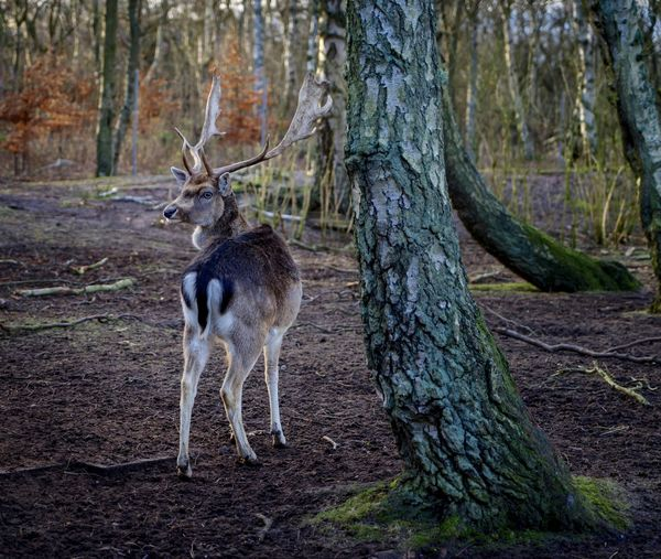 Getty Images Animal Themes Animal Wildlife Animals In The Wild Antler Beauty In Nature Damwild Day Deer Forest Mammal Nature No People One Animal Outdoors Stag Tree Tree Trunk Nobody The EyeEm Collection Premium Collection Animals In The Wild Tree Tree Trunk Animal Deer Standing WoodLand Vertebrate Nature