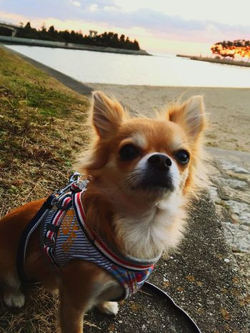 Dog Animal Themes One Animal Pets Outdoors Have A Nice Day! Make You Coffee Niko Chihuahua 2yearsold  Chihuahua Love ♥ No People Sea