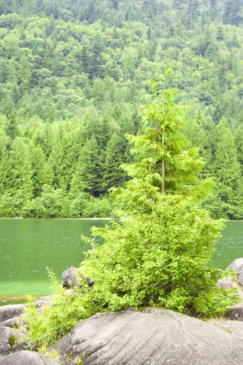 solitary conifer on a rock - lightning lake in the manning provincial park, canada Beauty In Nature British Columbia Canada Coniferous Tree Fir Tree Forest Forest Photography Green Color Green Color Lake Lake View Lakeshore Landscape Lightning Lake Lush Foliage Nature No People Rock Rock Formation Scenics Single Tree Tranquility Tree Water Woods