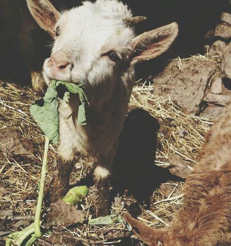 Cabra Goat CAPRA Asturias Pueblo Village EyeEm Photooftheday España