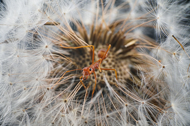 Close-up of insect on dandelion