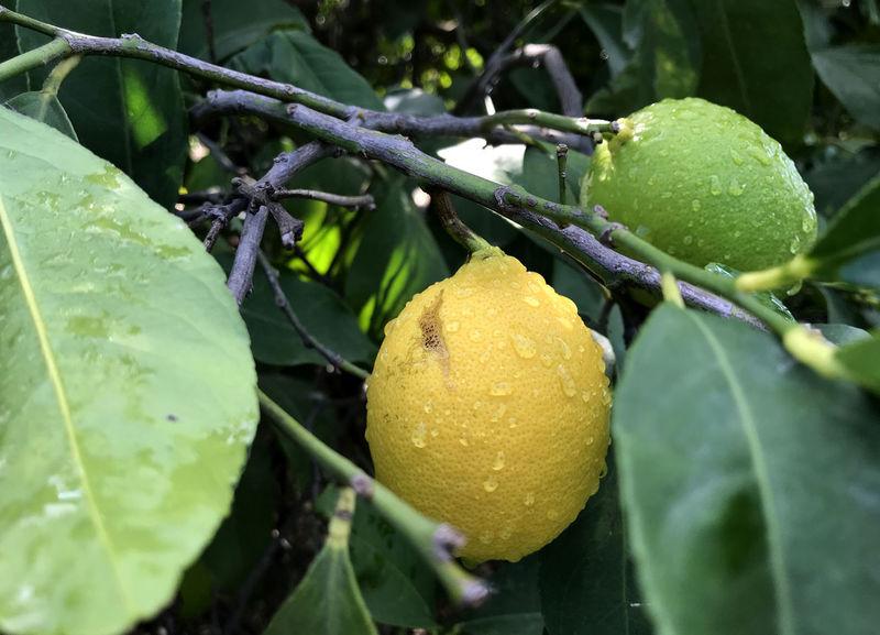 Tree Nature Lemontree Lemontea Lemons Lemon Lemongrass Outdoors No People Leaf Fruit Green Color Food And Drink Citrus Fruit Yellow