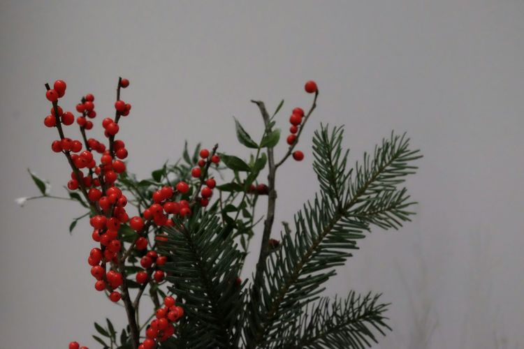 Pine Tree Red