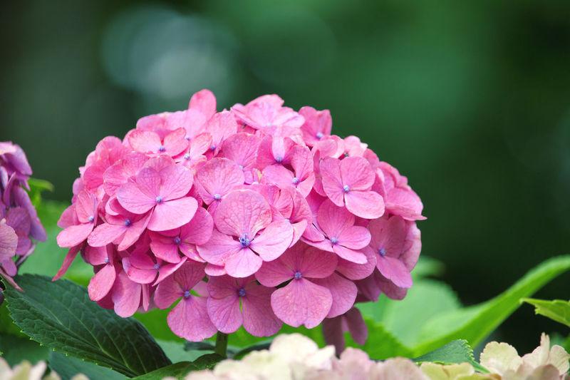 Close-up of pink hydrangea