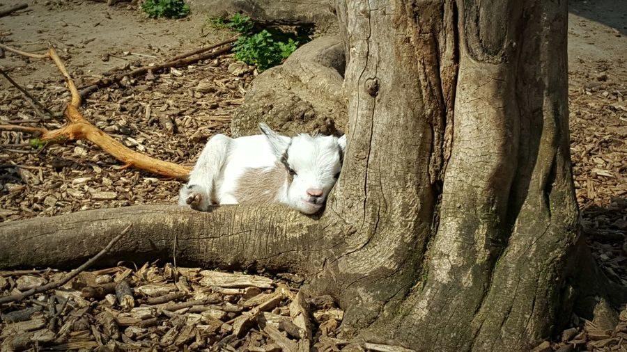Goat Goat Life Baby Goat Baby Animals Relaxing Relaxing Moments Animal Tree Cute Animals Sunshine Wood Root Nature Nature_collection Springtime Bough