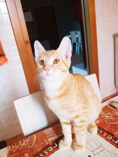 Pets Domestic Cat Sitting Feline Animal Themes Pet Clothing Ginger Cat Tabby Pet Bed Tabby Cat
