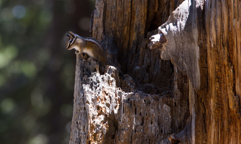 Animal Animal Head  Animal Themes Beauty In Nature Chipmunk Photography Close-up Day Focus On Foreground Hopi Chipmunk Mammal Nature No People Outdoors Selective Focus Tree Trunk Wildlife Wood - Material Zoology