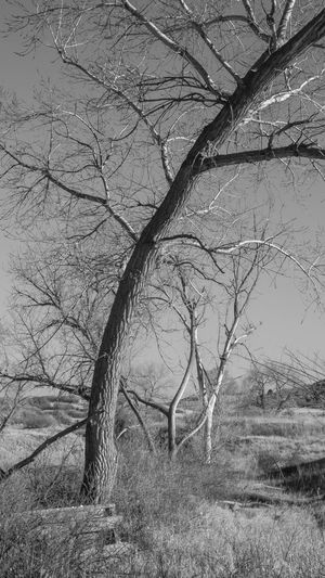 Landscapes - Late Afternoon Light #4 Bear Bear Creek Regional Park Colorado Late Afternoon B&w Bare Tree Bear Creek Pa Beauty In Nature Black And White Branch Bw Colorado Springs Day Fall 2017 Grass Landscape Landscapes Nature No People Outdoors Scenics Tranquility Tree Tree Trunk