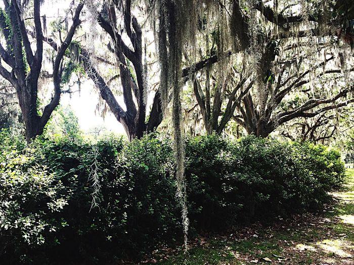Mossy Oaks Southern Oak Trees Moss