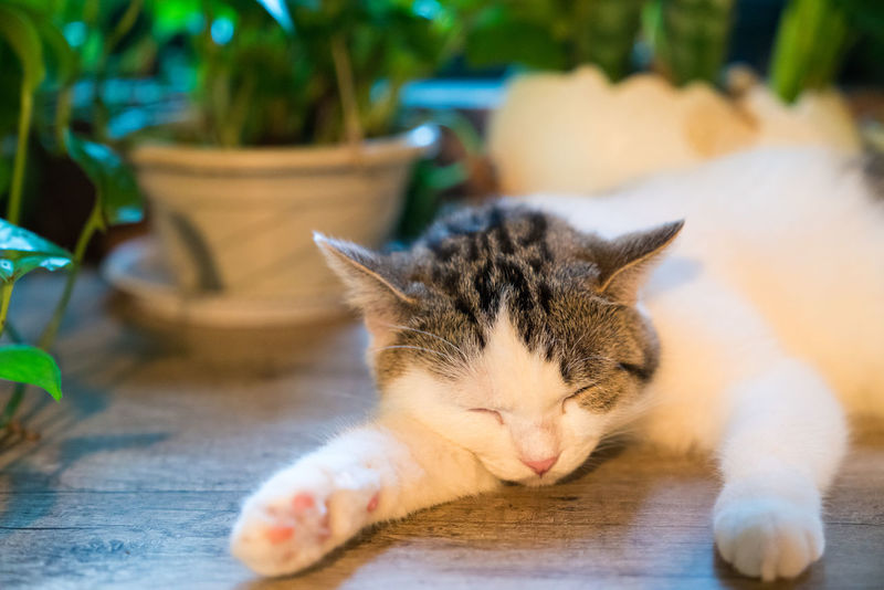 The sleeping cat Big Cats Family Cat Fun Gestures Kittens Adorable Animal Themes Animals Cat Cat's Eyes Cats Close-up Cuddles Curiosity Cute Day Decubit Domestic Animals Domestic Cat Ears Eye Eyes Face Feline Flower Cat Fluffy Gaze Lovely Lying Down Mammal No People One Animal Outdoors Pets Relaxation