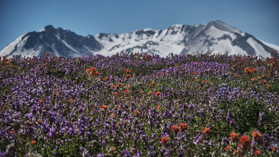 Purple flowers growing in field against mountain