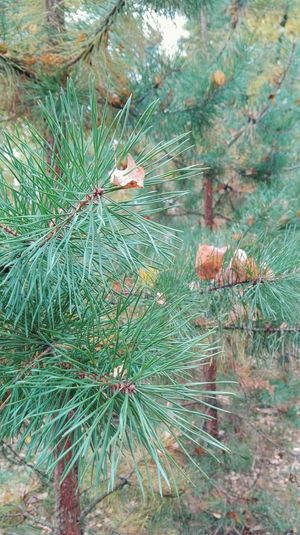 Tree Nature No People Green Color сосна Иголки Лес