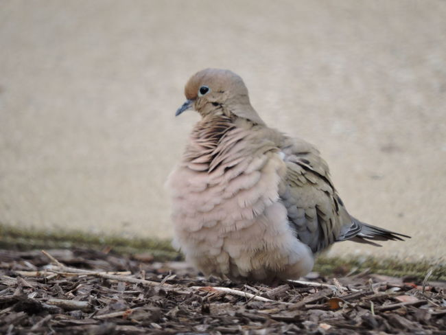 Animal Themes Animal Wildlife Animals In The Wild Bird Close-up Day Mourning Dove Mourning Doves No People One Animal Outdoors