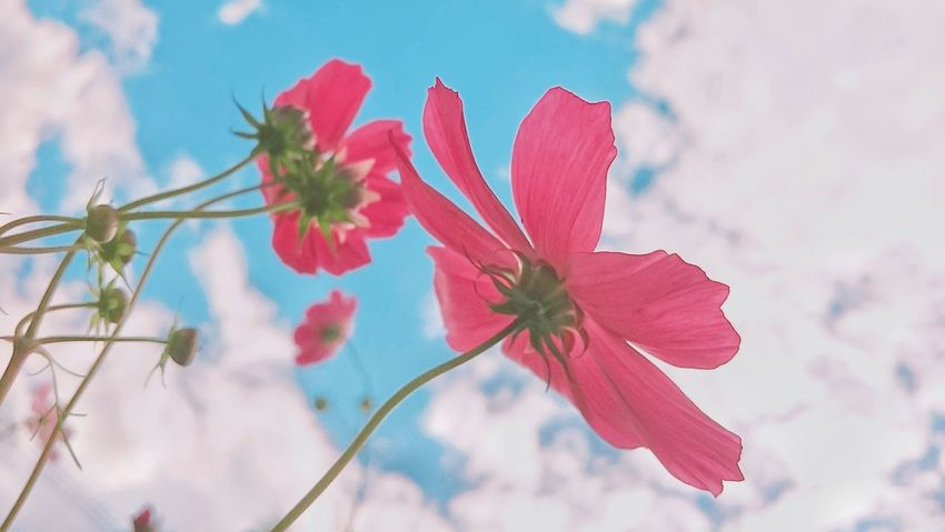 🏵️ Flower Nature Plant Sky Pink Color Outdoors Beauty In Nature Freshness Flower Head Hokkaido,Japan EyeEmNewHere Landscape Chica's Flowers コスモス The Week Of Eyeem Flower Photography 秋桜 Skyscraper Black_chica1709 Pastel Colored Chica's Sky Japanese Photography Landscape Photography 秋空 Low Angle View