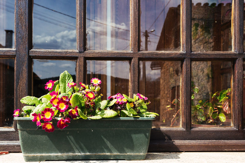 Close-up of primroses blooming against window
