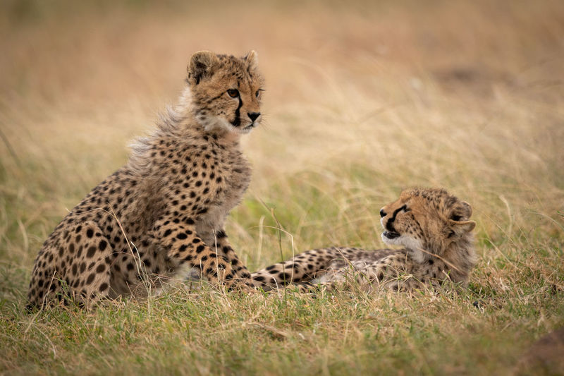 View of cheetah cubs at field