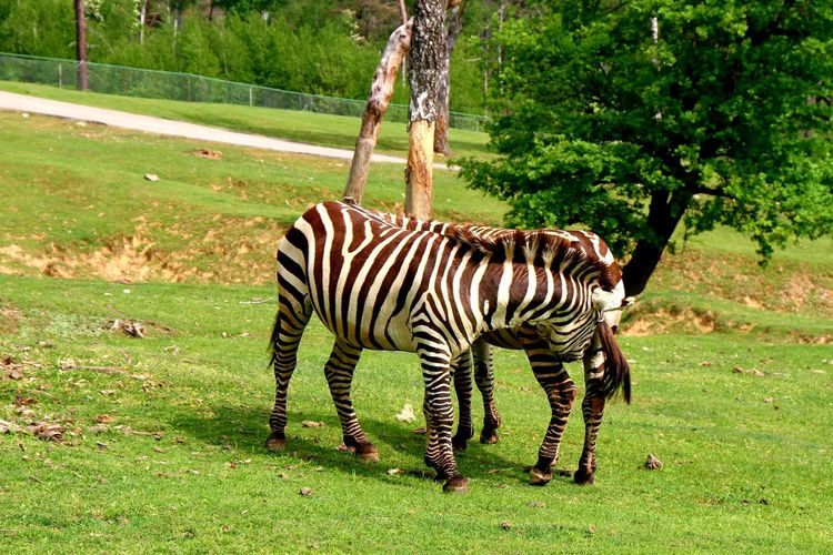 Zebra Tree Full
