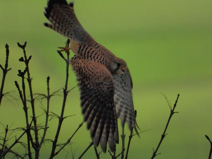 Falcon Ghebbio